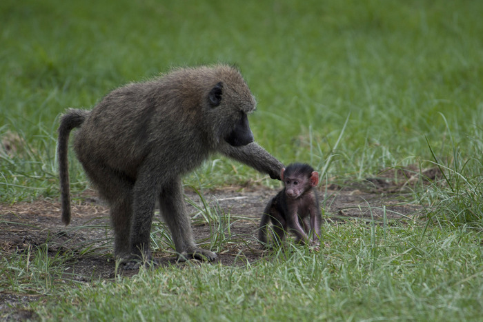 Baboon Mother Baby Kenya