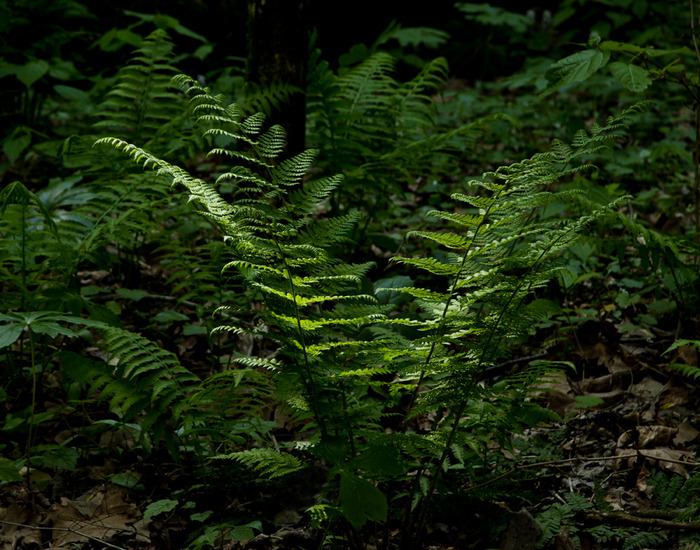 Sunlight on Fern
